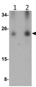 Western blot - C16orf5 antibody (ab106362)