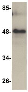 Western blot - RHBDD3 antibody (ab106404)