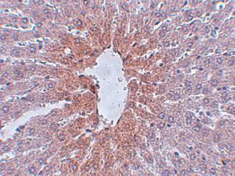 Immunohistochemistry (Formalin/PFA-fixed paraffin-embedded sections) - JMJD1C antibody (ab106457)