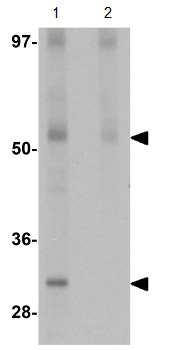 Western blot - JMJD4 antibody (ab106458)