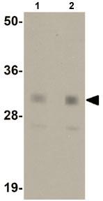 Western blot - Nanog antibody (ab106465)