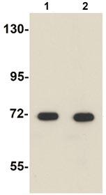 Western blot - Apc6 antibody (ab106495)