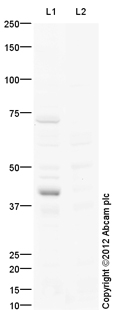 Western blot - Anti-HOXA13 antibody (ab106503)
