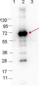 Western blot - Anti-CRASP1 antibody (ab106539)