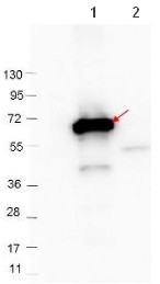 Western blot - Anti-CRASP2 antibody (ab106549)