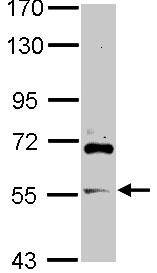 Western blot - ZNF289 antibody (ab106559)