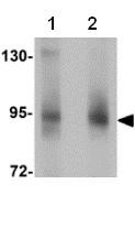 Western blot - ZBTB5 antibody (ab106562)
