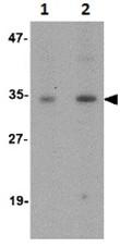 Western blot - GNPDA1 antibody (ab106563)