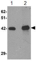 Western blot - SLC39A12 antibody (ab106570)