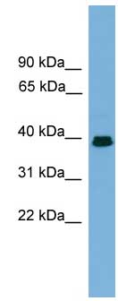 Western blot - Angiopoietin like 7 antibody (ab106574)