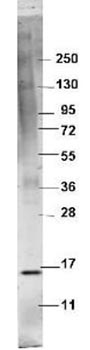 Western blot - Anti-TNFa antibody (ab106606)