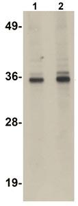 Western blot - RSRC1 antibody (ab106650)
