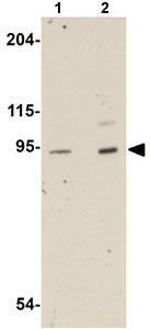 Western blot - LZTR1 antibody (ab106655)