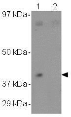 Western blot - CCDC69 antibody (ab106692)