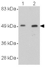 Western blot - WDR74 antibody (ab106696)