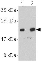 Western blot - NDUFB9 antibody (ab106699)