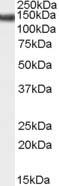 Western blot - SA2 antibody (ab106820)