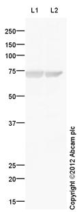 Western blot - Anti-Keratin 77  antibody (ab106847)
