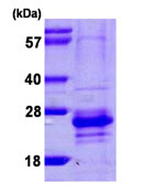 SDS-PAGE - Calcium binding protein 7 (ab106870)