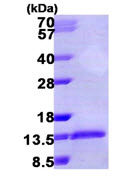 SDS-PAGE - Macrophage Inflammatory Protein 1 alpha / CCL3 (ab106871)