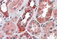 Immunohistochemistry (Formalin/PFA-fixed paraffin-embedded sections) - Anti-IREB2 antibody (ab106926)