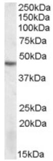 Western blot - DRAK2 antibody (ab106933)