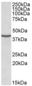 Western blot - NUDC antibody (ab106935)