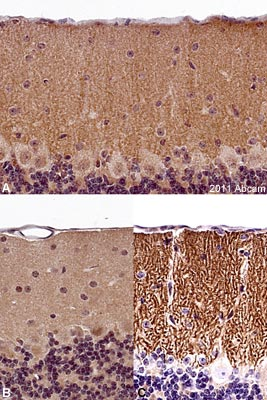 Immunohistochemistry (Formalin/PFA-fixed paraffin-embedded sections) - DAGLA antibody (ab106979)
