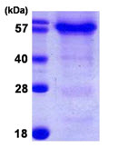 SDS-PAGE - HSPBAP1 protein (ab107135)