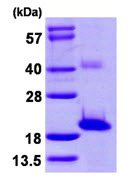 SDS-PAGE - SNTN protein (ab107138)