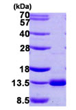 SDS-PAGE - Dynein light chain protein (ab107140)