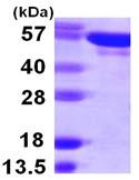 SDS-PAGE - Tyrosyl tRNA synthetase protein (ab107141)
