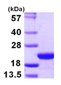 SDS-PAGE - COPZ1 protein (ab107148)