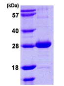 SDS-PAGE - nth protein (ab107150)