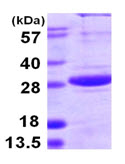 SDS-PAGE - SPSB1 protein (ab107155)