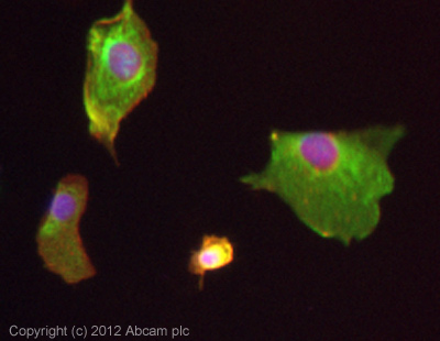 Immunocytochemistry/ Immunofluorescence - Anti-CDCP1 antibody (ab107165)