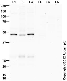 Western blot - Anti-GSK3 beta antibody (ab107166)
