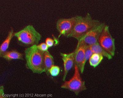 Immunocytochemistry/ Immunofluorescence - Anti-GSK3 beta (phospho S9) antibody (ab107166)