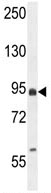 Western blot - EFHB antibody (ab107174)