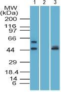 Western blot - GFI1 antibody (ab107589)