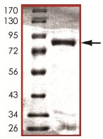 SDS-PAGE - NLK protein (ab107700)