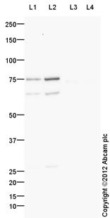 Western blot - Anti-Spata18 antibody (ab107702)