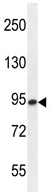 Western blot - ENGASE antibody (ab107738)