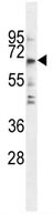 Western blot - FLJ44817  antibody (ab107766)