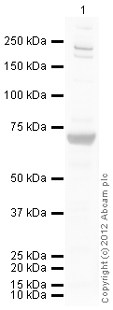 Western blot - Anti-LRWD1 antibody (ab107779)