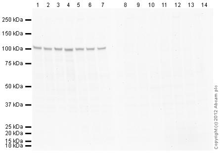 Western blot - Anti-KAP1 antibody (ab107815)