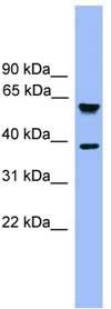 Western blot - FbxL12 antibody (ab108063)