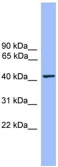 Western blot - THEG antibody (ab108082)