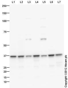 Western blot - Anti-DDAH1 antibody (ab108088)