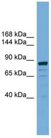 Western blot - ATG9B antibody (ab108107)